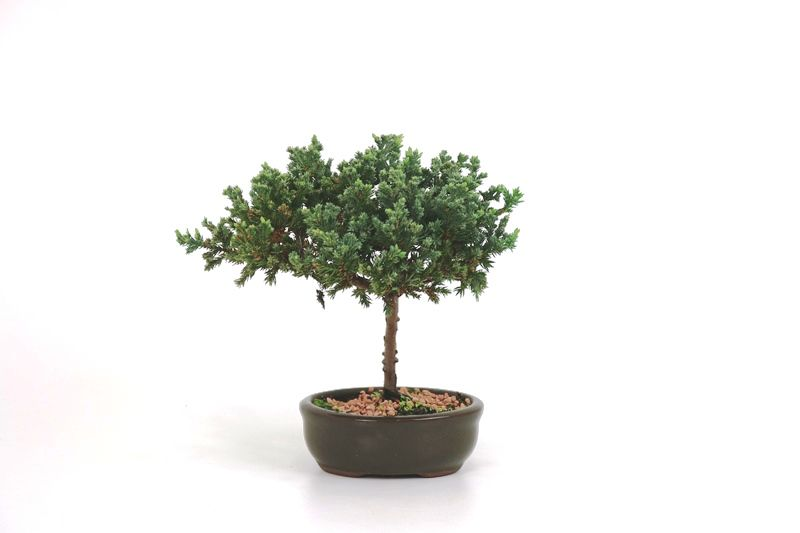 Bonsai Procumbens  02 anos Medida da Planta (AxL) 5x12 cm