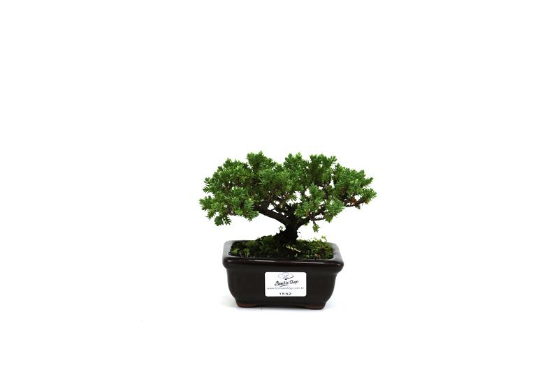 Bonsai Procumbens  02 anos Medida da Planta (AxL) 9x14 cm