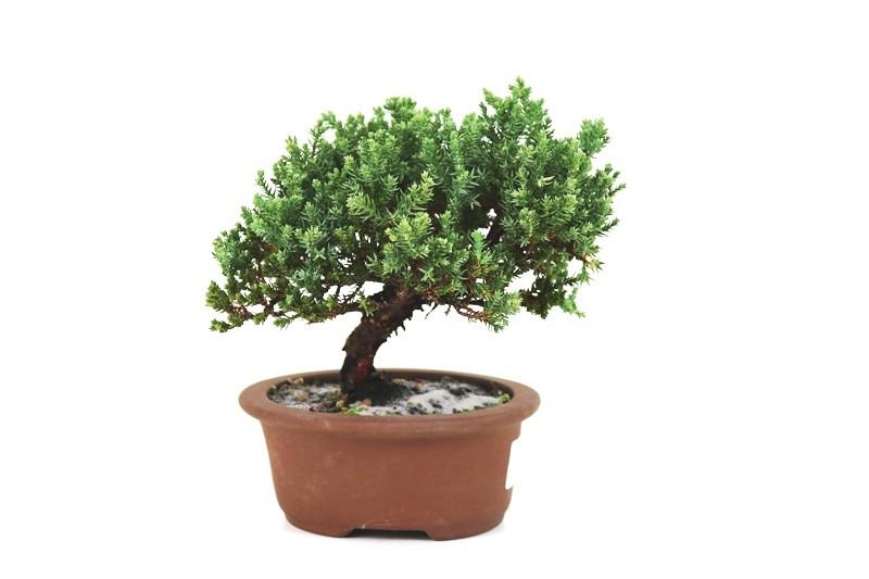 Bonsai Procumbens  03 anos Medida da Planta (AxL) 14x17 cm