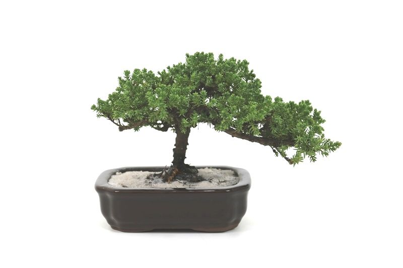 Bonsai Procumbens  04 anos Medida da Planta (AxL) 14x23 centímetros