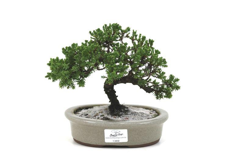 Bonsai Procumbens  04 anos Medida da Planta (AxL) 15x21 centímetros