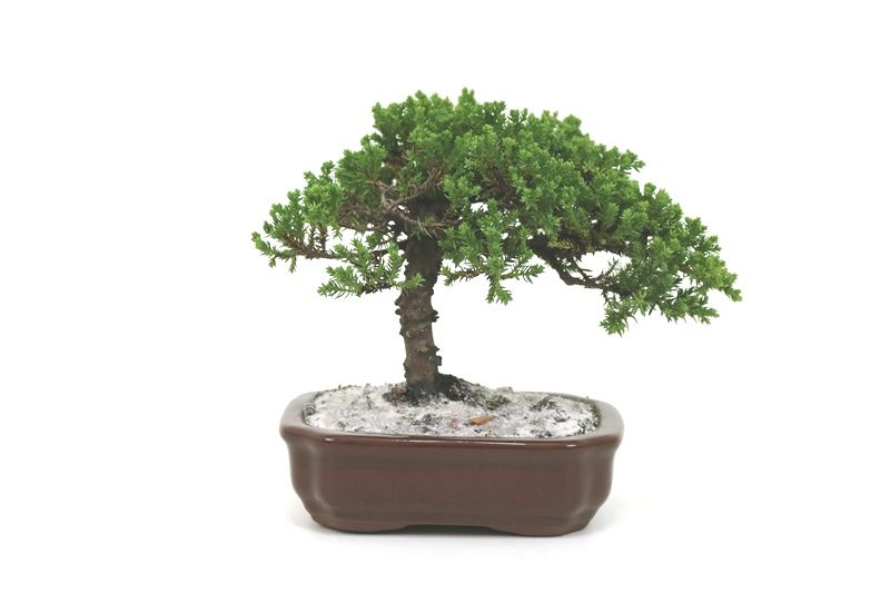 Bonsai Procumbens  04 anos Medida da Planta (AxL) 16x20 centímetros