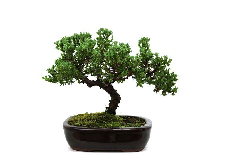 Bonsai Procumbens  04 anos Medida da Planta (AxL) 17x23 cm