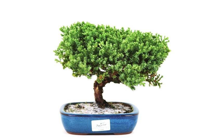 Bonsai Procumbens  04 anos Medida da Planta (AxL) 17x24 cm
