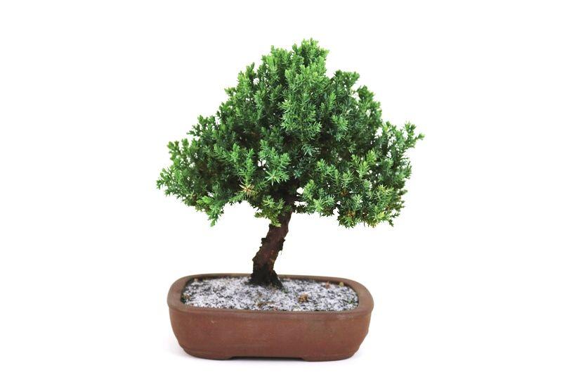 Bonsai Procumbens  04 anos Medida da Planta (AxL) 20x20 cm