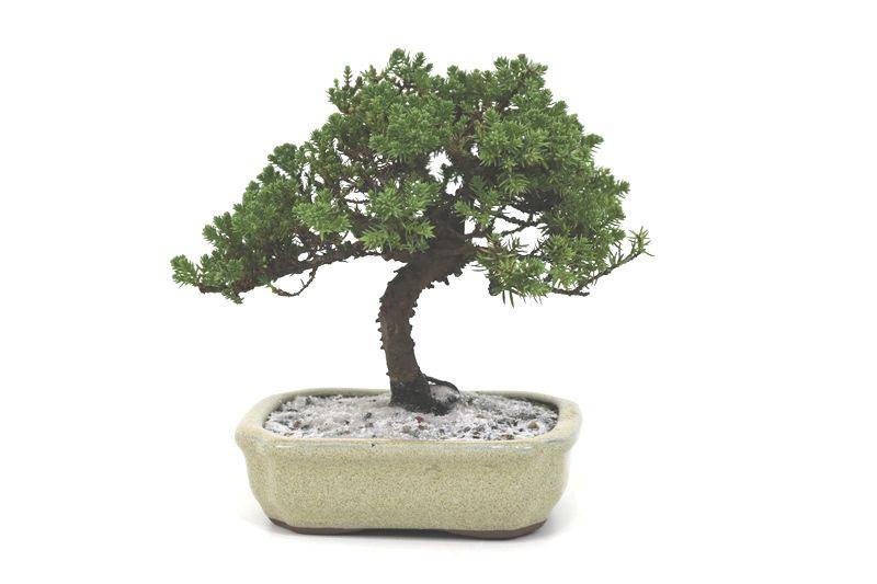 Bonsai Procumbens  04 anos Medida da Planta (AxL) 21x21 centímetros