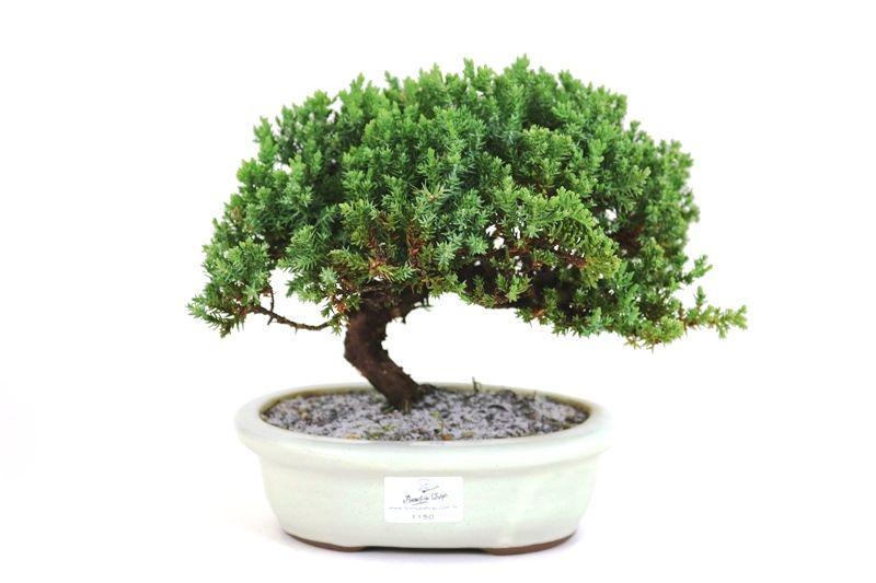 Bonsai Procumbens  05 anos Medida da Planta (AxL) 17x24 cm