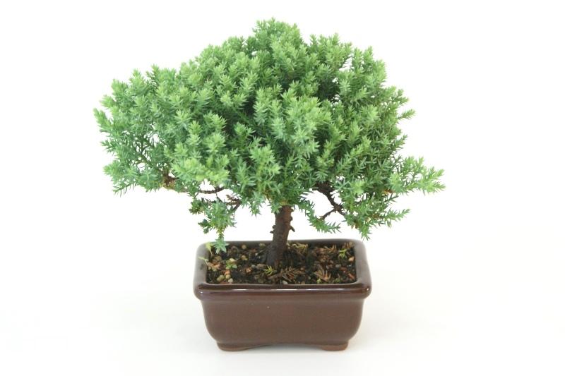 Bonsai Procumbens aproximadamente 02 anos Medida da Planta (AxL) 14x20 cm