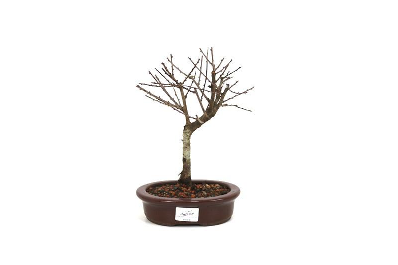 Bonsai  Sakura Anã 04  anos - medida da planta (AxL) 20x16 cm