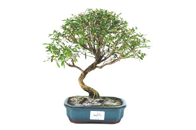 Bonsai Serissa 04 anos - medida da planta (AxL) 24x24 cm