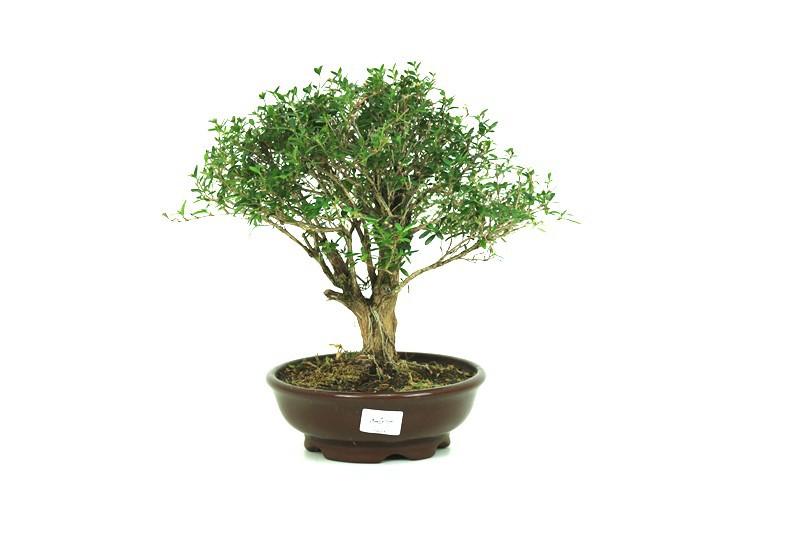 Bonsai Serissa 08 anos - medida da planta (AxL) 26x28 cm