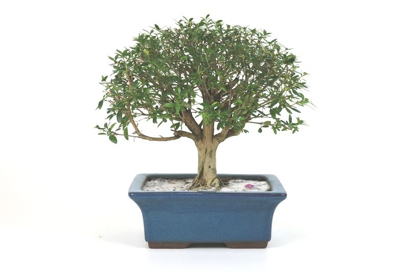 Bonsai Serissa Chinesa 07 anos - medida da planta (AxL) 21x27 cm