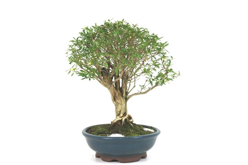 Bonsai Serissa Chinesa 08 anos - medida da planta (AxL) 28x28 cm