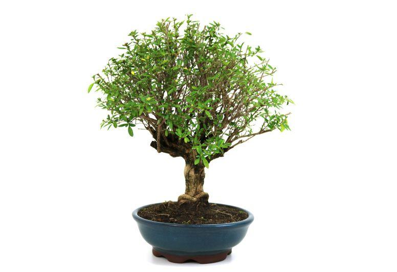 Bonsai Serissa Chinesa 08 anos - medida da planta (AxL) 32x33 cm