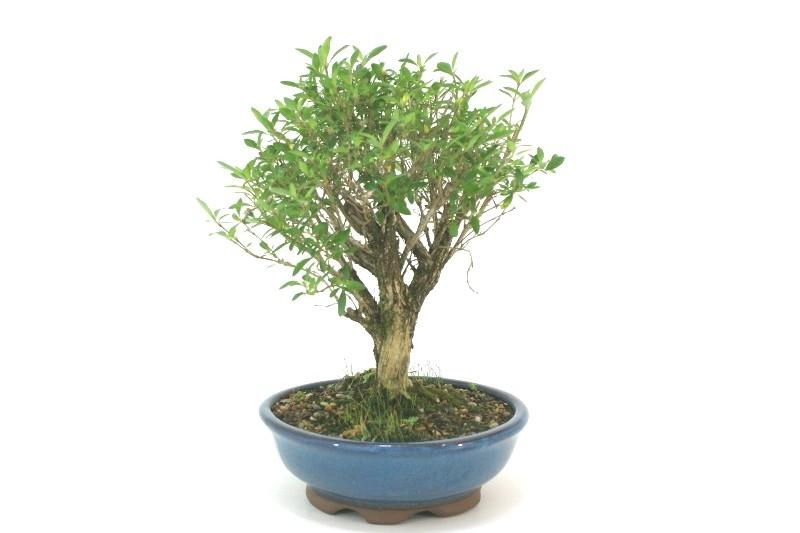 Bonsai Serissa Chinesa 08 anos - medida da planta (AxL) 25x24 cm
