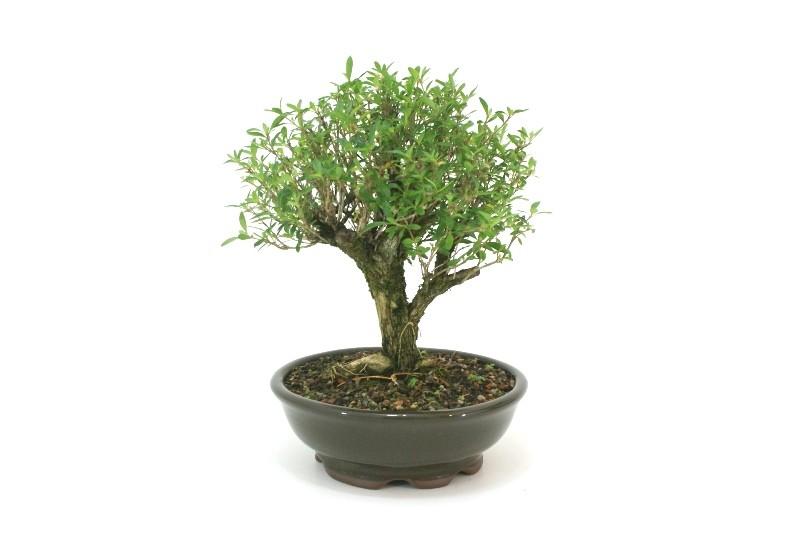 Bonsai Serissa Chinesa aproximadamente 08 anos - medida da planta (AxL) 25x24 cm