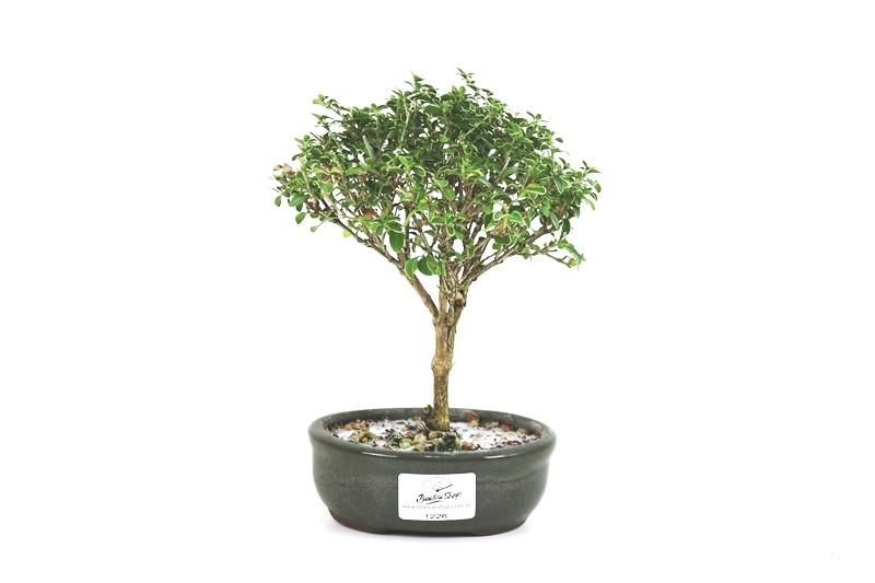 Bonsai Serissa Rosa 02anos - medida da planta (AxL) 17x16 cm