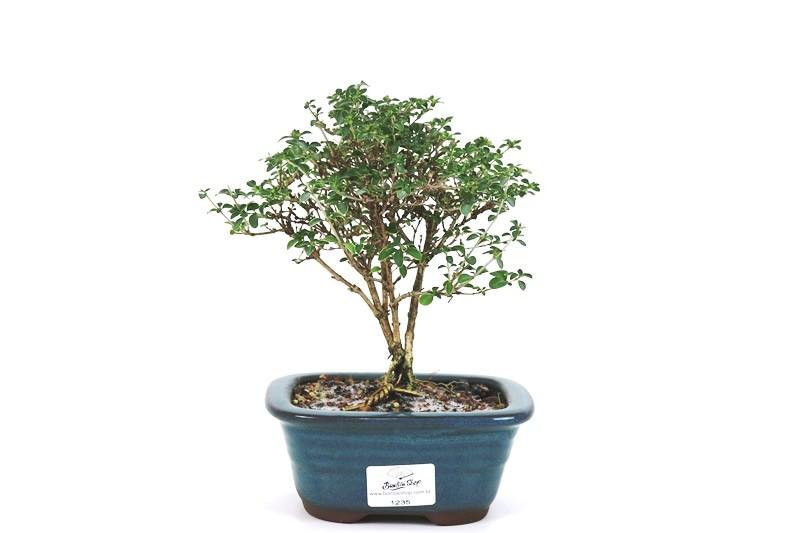 Bonsai Serissa Rosa 03 anos - medida da planta (AxL) 17x17 cm