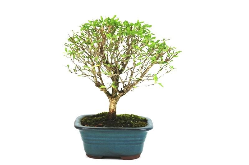 Bonsai Serissa 03 anos - medida da planta (AxL) 19x22 cm