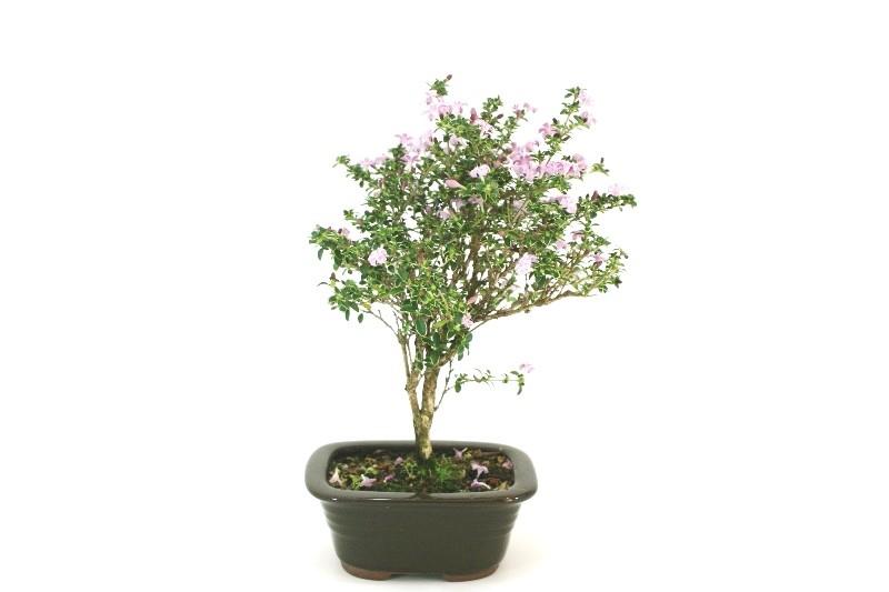 Bonsai Serissa Rosa aproximadamente 03 anos - medida da planta (AxL) 24x19 cm