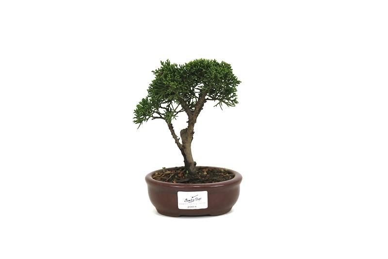 Bonsai Shimpaku  02 anos - medida da planta (AxL) 13x12 cm