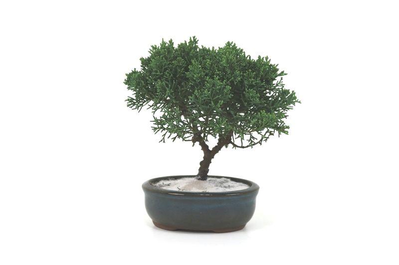 Bonsai Shimpaku  02 anos - medida da planta (AxL) 15x16centímetros