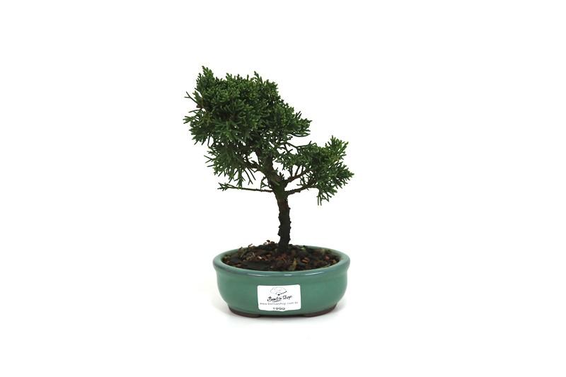 Bonsai Shimpaku  02 anos - medida da planta (AxL) 16x13 cm