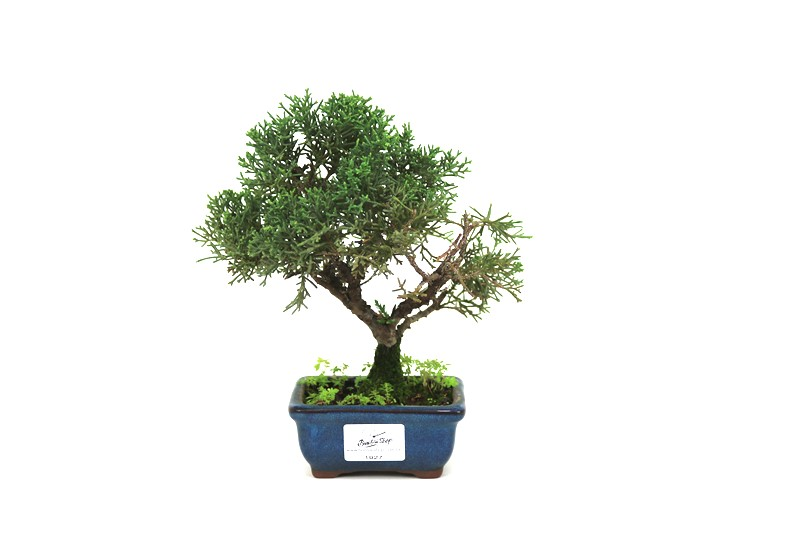 Bonsai Shimpaku  02 anos - medida da planta (AxL) 18x17 cm