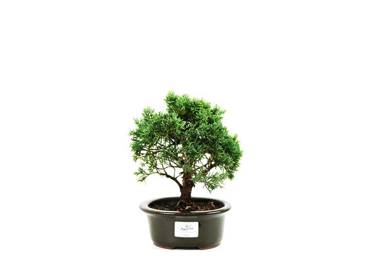 Bonsai Shimpaku  03 anos - medida da planta (AxL) 16x21 cm