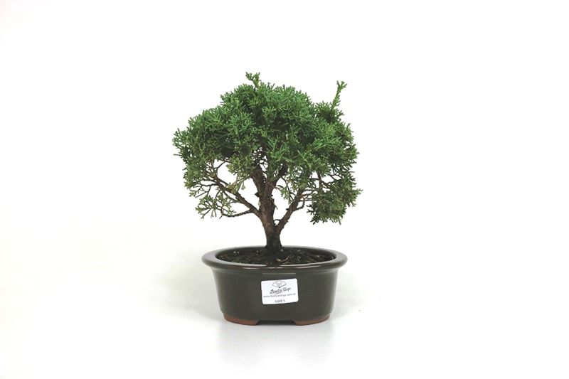 Bonsai Shimpaku  03 anos - medida da planta (AxL) 17x17 cm