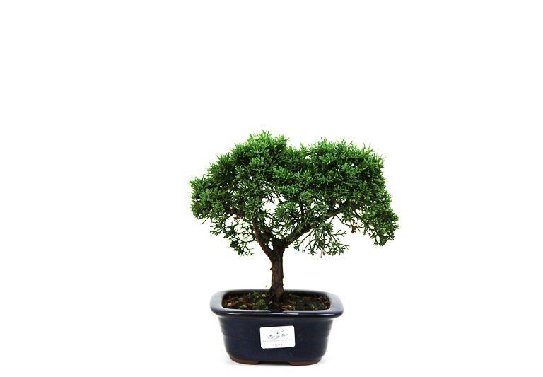 Bonsai Shimpaku  03 anos - medida da planta (AxL) 17x21 cm