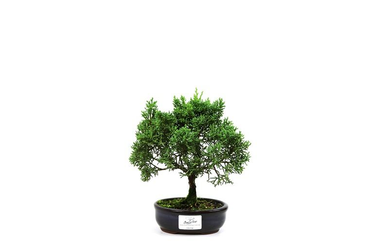 Bonsai Shimpaku  02 anos - medida da planta (AxL) 18x20 cm