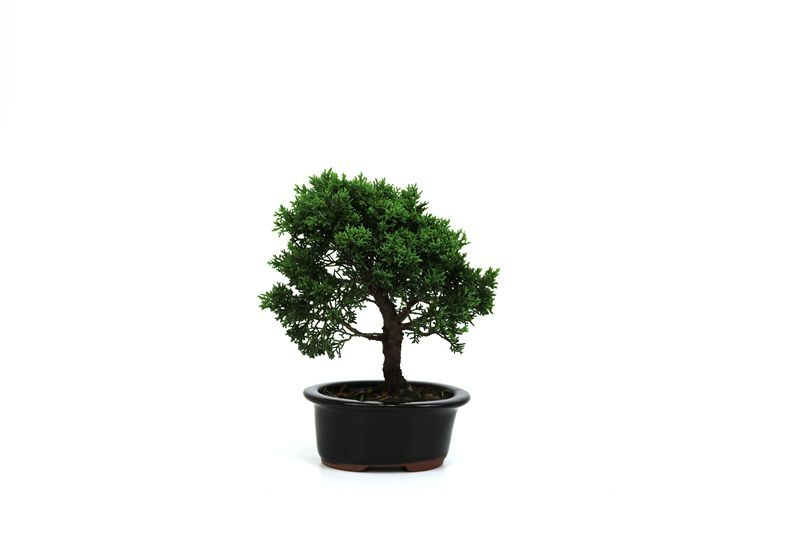 Bonsai Shimpaku  03 anos - medida da planta (AxL) 19x16 cm