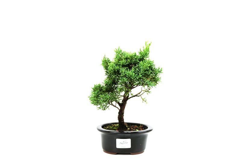 Bonsai Shimpaku  03 anos - medida da planta (AxL) 19x19 cm