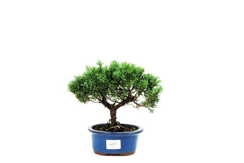 Bonsai Shimpaku  03 anos - medida da planta (AxL) 20x18 cm