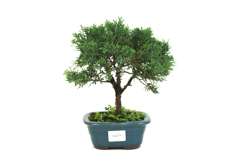 Bonsai Shimpaku  03 anos - medida da planta (AxL) 20x19 cm