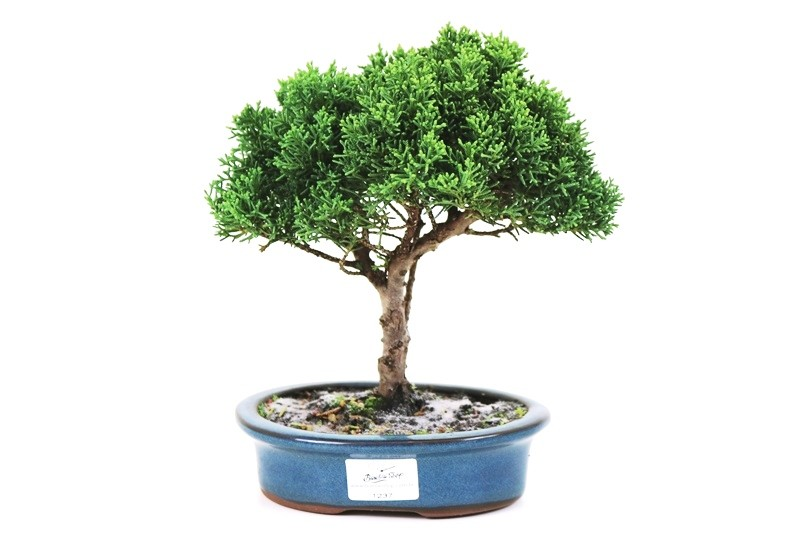 Bonsai Shimpaku 04 anos - medida da planta (AxL) 20x20 cm