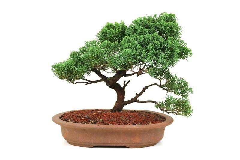 Bonsai Shimpaku 08 anos - medida da planta (AxL) 28x34 cm