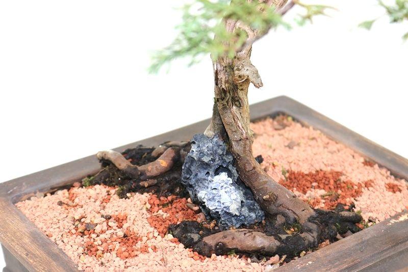 Bonsai Shimpaku 12 anos - medida da planta (AxL) 33x32 cm