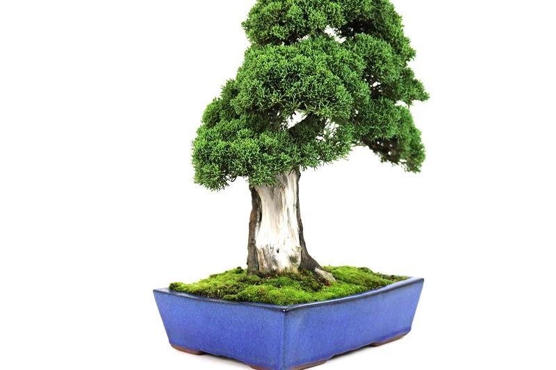 Bonsai Shimpaku 27 anos - medida da planta (AxL) 43x43 cm