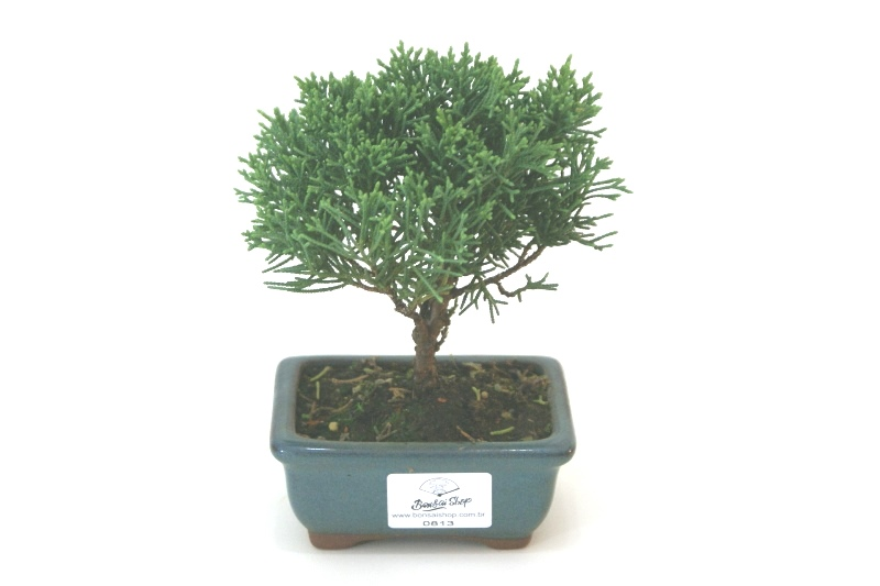 Bonsai Shimpaku aproximadamente 02 anos - medida da planta (AxL) 12x13 cm