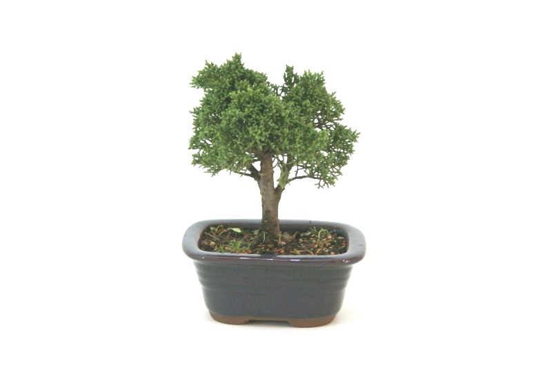 Bonsai Shimpaku aproximadamente 03 anos - medida da planta (AxL) 13x13 cm