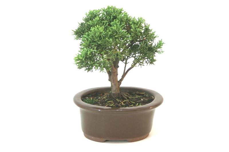 Bonsai Shimpaku aproximadamente 03 anos - medida da planta (AxL) 14x14 cm