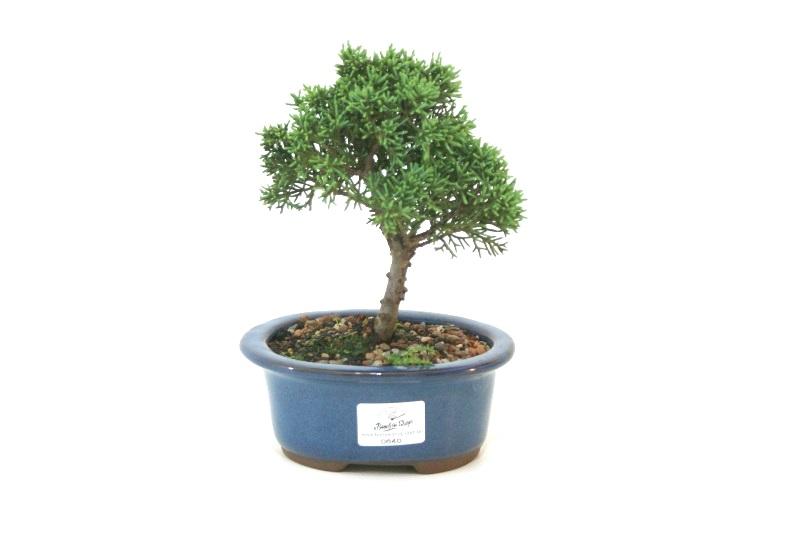 Bonsai Shimpaku aproximadamente 03 anos - medida da planta (AxL) 15x15 cm