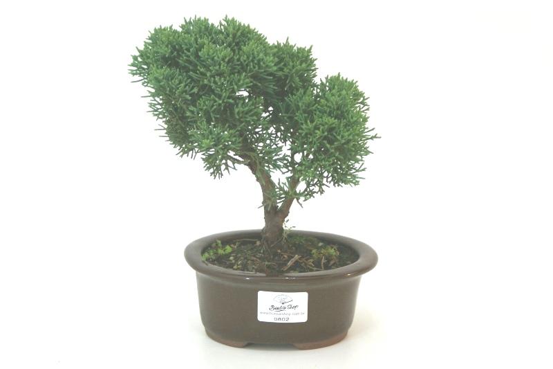 Bonsai Shimpaku aproximadamente 03 anos - medida da planta (AxL) 17x17 cm