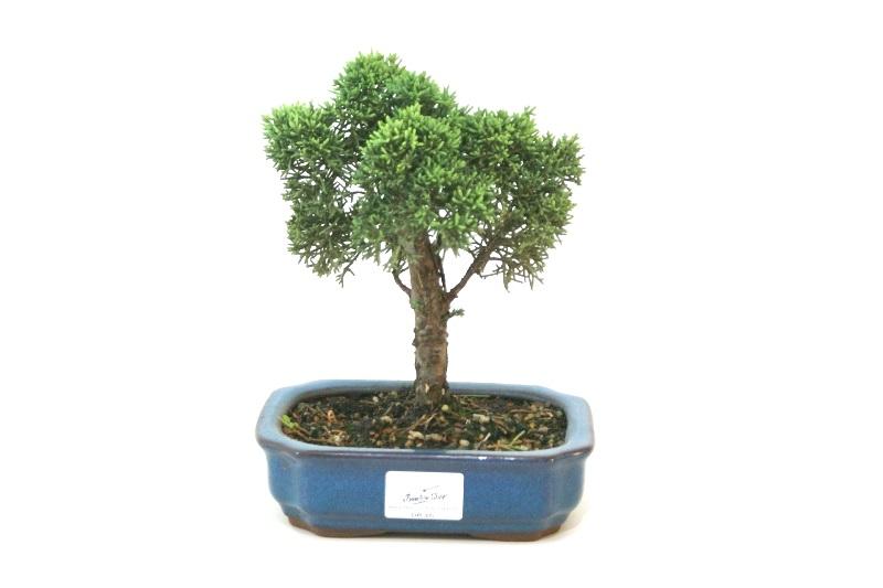 Bonsai Shimpaku aproximadamente 04 anos - medida da planta (AxL) 16x15 cm