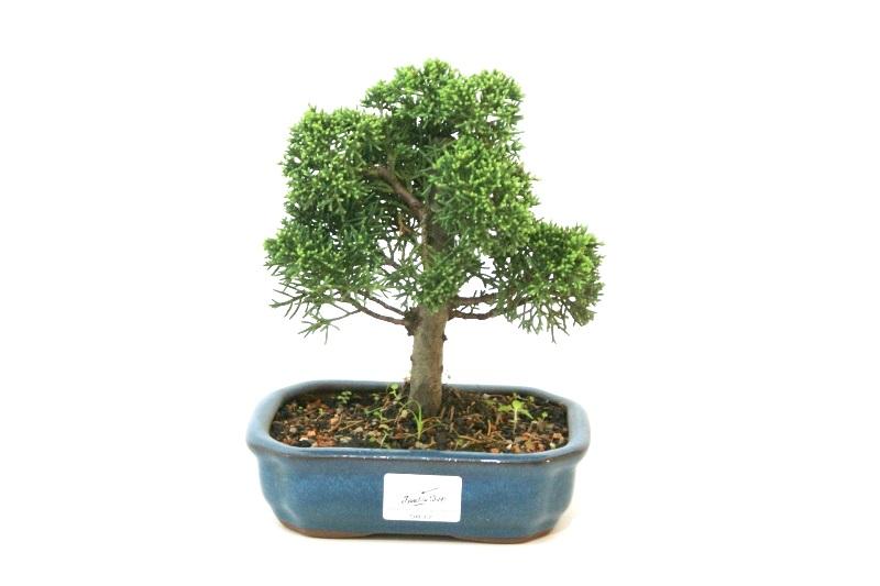 Bonsai Shimpaku aproximadamente 04 anos - medida da planta (AxL) 16x16 cm