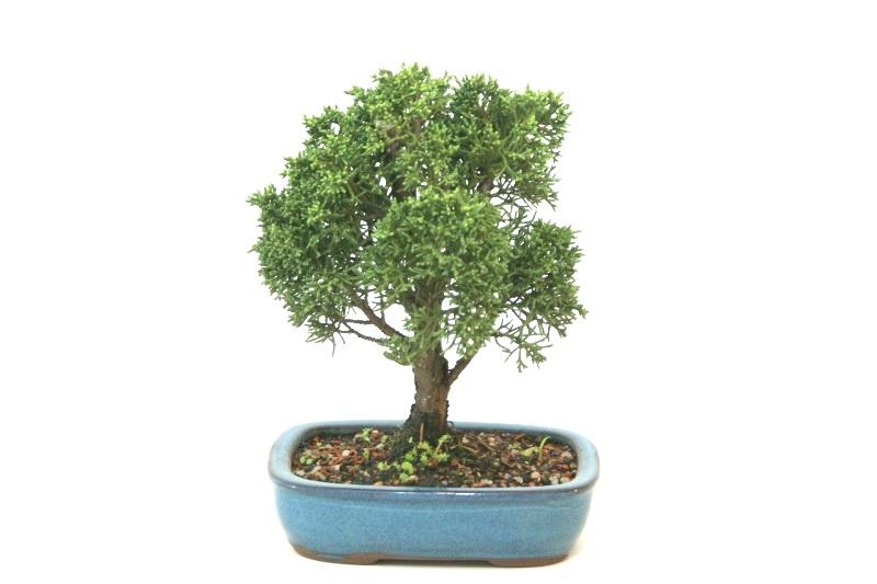 Bonsai Shimpaku aproximadamente 04 anos - medida da planta (AxL) 17x15 cm