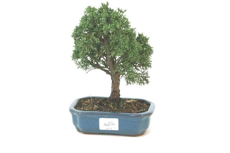 Bonsai Shimpaku aproximadamente 04 anos - medida da planta (AxL) 17x17 cm