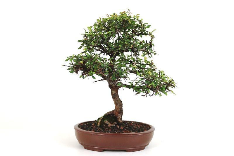 Bonsai Ulmus 12 anos - medida da planta (AxL) 35x33 cm